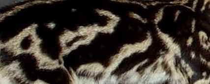 Marbled Bengal Cat