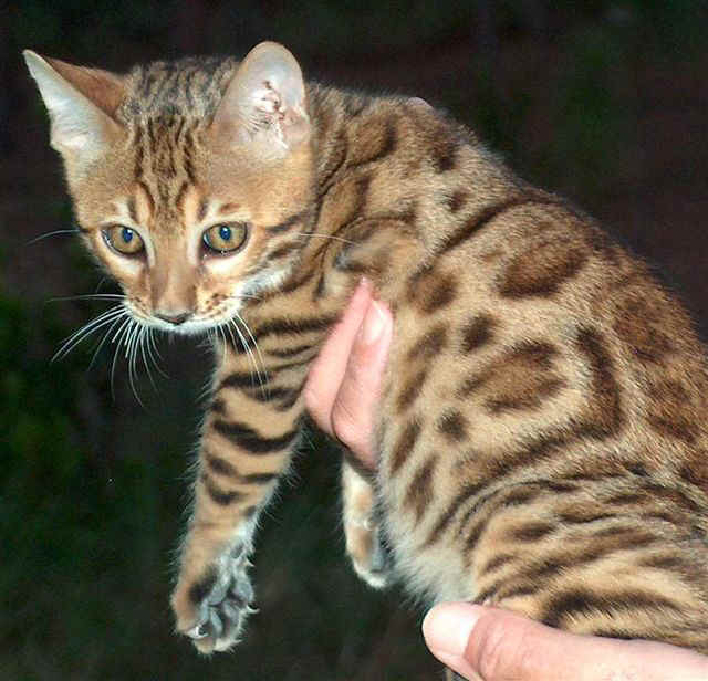 Rosetted Bengal Cat